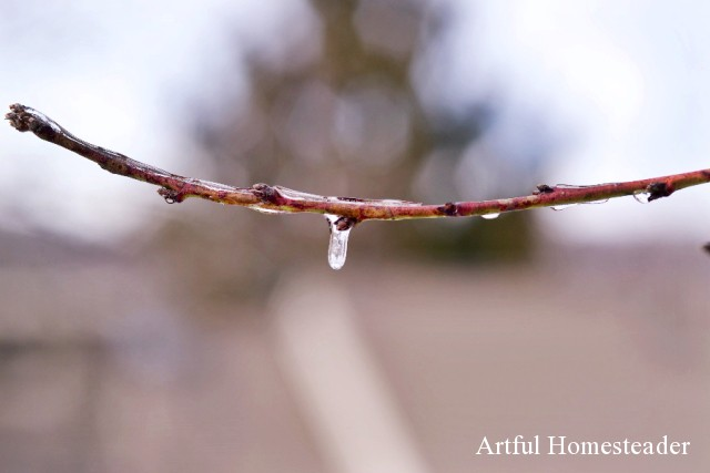 ice on fruit tree