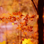 fall leaves - golden glow 3