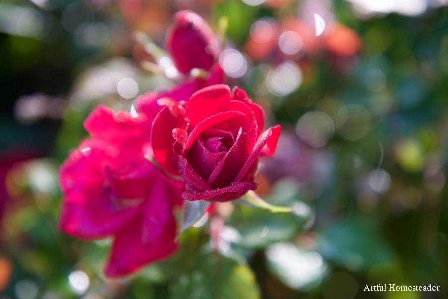 roses are blooming again