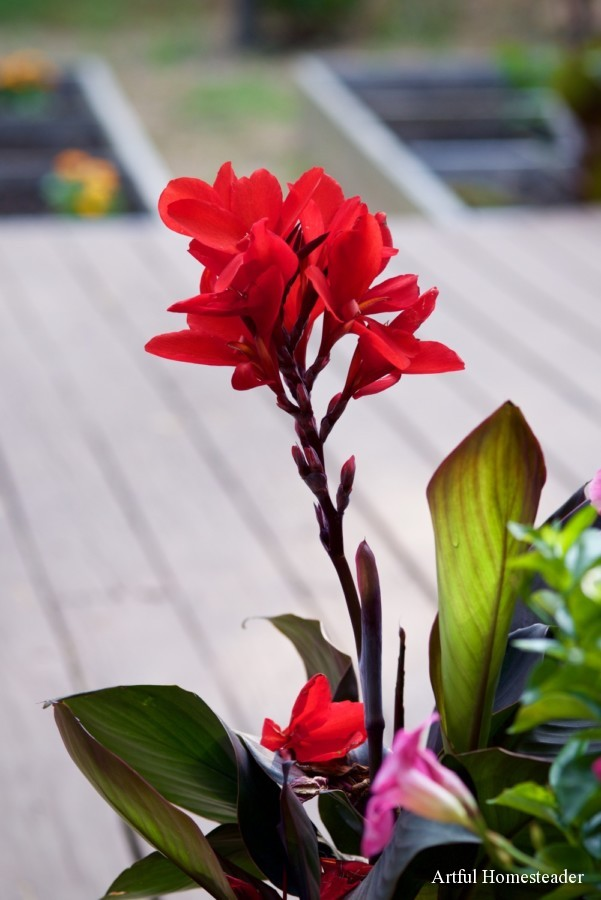 red cannas on the deck